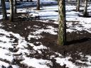 Sniegs kūst bērzi